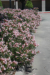 Petite Pink Oleander (Nerium oleander 'Petite Pink') at The Home And Garden Center