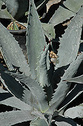 Century Plant (Agave americana) at The Home And Garden Center
