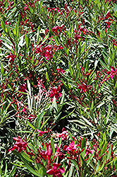 Dwarf Red Oleander (Nerium oleander 'Dwarf Red') at The Home And Garden Center
