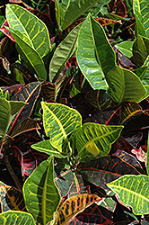 Variegated Croton (Codiaeum variegatum) at The Home And Garden Center