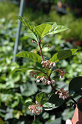 Japanese Ardisia (Ardisia japonica) at The Home And Garden Center