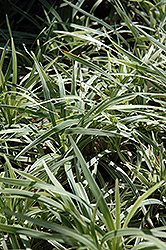 Aztec Grass Lily Turf (Liriope muscari 'Aztec Grass') at The Home And Garden Center