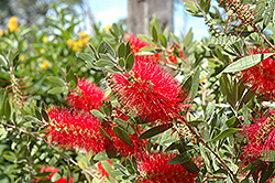 Crimson Bottlebrush (Callistemon citrinus) at The Home And Garden Center