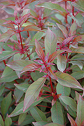 Scarlet Bush (Hamelia patens) at The Home And Garden Center