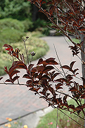 Delta Jazz® Crapemyrtle (Lagerstroemia 'Chocolate Mocha') at The Home And Garden Center