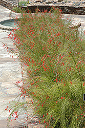 Firecracker Plant (Russelia equisetiformis) at The Home And Garden Center
