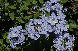 Dark Blue Plumbago (Plumbago auriculata 'Dark Blue') at The Home And Garden Center