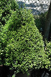 Compact Japanese Holly (Ilex crenata 'Compacta') at The Home And Garden Center