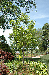 Choctaw Pecan (Carya illinoinensis 'Choctaw') at The Home And Garden Center