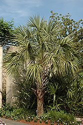 Cabbage Palm (Sabal palmetto) at The Home And Garden Center