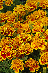 Little Hero Fire Marigold (Tagetes patula 'Little Hero Fire') at The Home And Garden Center