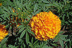 Bali Orange Marigold (Tagetes erecta 'Bali Orange') at The Home And Garden Center