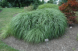 Adagio Maiden Grass (Miscanthus sinensis 'Adagio') at The Home And Garden Center