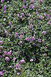 Purple Trailing Lantana (Lantana montevidensis) at The Home And Garden Center