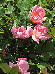 Rainbow Knock Out® Rose (Rosa 'Radcor') at The Home And Garden Center