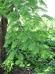 Dawn Redwood (Metasequoia glyptostroboides) at The Home And Garden Center