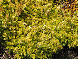 Angelina Stonecrop (Sedum rupestre 'Angelina') at The Home And Garden Center