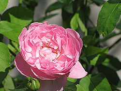 Mary Rose (Rosa 'Mary') at The Home And Garden Center