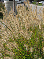 Hameln Dwarf Fountain Grass (Pennisetum alopecuroides 'Hameln') at The Home And Garden Center