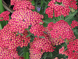 Paprika Yarrow (Achillea millefolium 'Paprika') at The Home And Garden Center