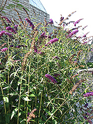Black Knight Butterfly Bush (Buddleia davidii 'Black Knight') at The Home And Garden Center