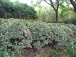 Silver King Euonymus (Euonymus japonicus 'Silver King') at The Home And Garden Center