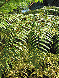 Australian Tree Fern (Cyathea cooperi) at The Home And Garden Center