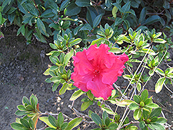 Bloom-A-Thon® Red Azalea (Rhododendron 'RLH1-1P2') at The Home And Garden Center
