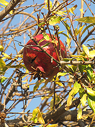Pomegranate (Punica granatum) at The Home And Garden Center