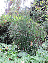 Horsetail (Equisetum hyemale) at The Home And Garden Center