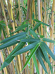 Alphonse Karr Bamboo (Bambusa multiplex 'Alphonse Karr') at The Home And Garden Center