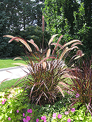 Purple Fountain Grass (Pennisetum setaceum 'Rubrum') at The Home And Garden Center