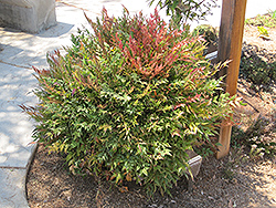 Harbour Dwarf Nandina (Nandina domestica 'Harbour Dwarf') at The Home And Garden Center