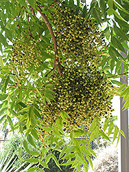 Chinese Pistache (Pistacia chinensis) at The Home And Garden Center