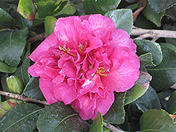 Bonanza Camellia (Camellia sasanqua 'Bonanza') at The Home And Garden Center