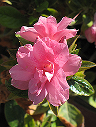 Encore® Autumn Empress™ Azalea (Rhododendron 'Conles') at The Home And Garden Center