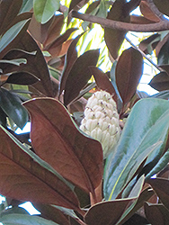 Teddy Bear® Magnolia (Magnolia grandiflora 'Southern Charm') at The Home And Garden Center