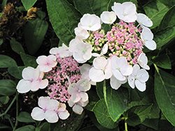Lanarth White Hydrangea (Hydrangea macrophylla 'Lanarth White') at The Home And Garden Center