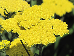 Moonshine Yarrow (Achillea 'Moonshine') at The Home And Garden Center