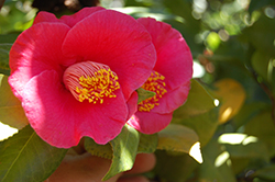 Japanese Camellia (Camellia japonica) at The Home And Garden Center