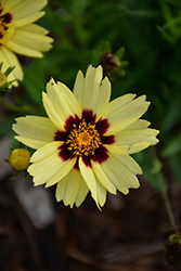 UpTick™ Cream and Red Tickseed (Coreopsis 'Balupteamed') at The Home And Garden Center