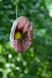 Dutchman's Pipe (Aristolochia macrophylla) at The Home And Garden Center