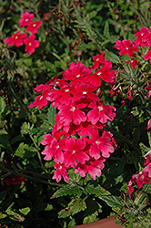Aztec Wild Rose Verbena (Verbena 'Aztec Wild Rose') at The Home And Garden Center