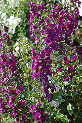 Adessa Purple Angelonia (Angelonia angustifolia 'Adessa Purple') at The Home And Garden Center
