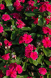 Titan Punch Vinca (Catharanthus roseus 'Titan Punch') at The Home And Garden Center
