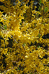 Lynwood Gold Forsythia (Forsythia x intermedia 'Lynwood Gold') at The Home And Garden Center