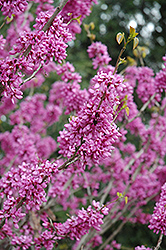 Avondale Redbud (Cercis chinensis 'Avondale') at The Home And Garden Center