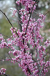 Forest Pansy Redbud (Cercis canadensis 'Forest Pansy') at The Home And Garden Center