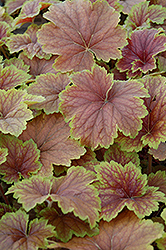 Delta Dawn Coral Bells (Heuchera 'Delta Dawn') at The Home And Garden Center