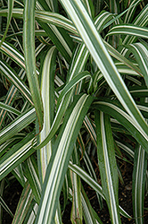 Cabaret Maiden Grass (Miscanthus sinensis 'Cabaret') at The Home And Garden Center